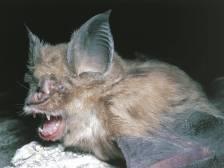 horshoe bats